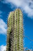 Spiny cactus growing on Aruba viewed low angle close up against a cloudy blue sunny summer sky