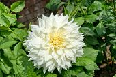Beautiful fresh white double dahlia with a creamy yellow centre blooming against green leaves on the
