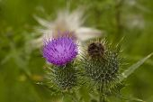 Flora - Mary Thistle