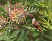 Hummingbird Feeding At A Flower.