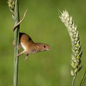 Harvest Mouse About to Jump