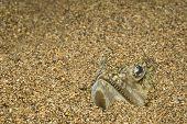 Painted Lizard fish
