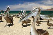Pelican Group Closeup