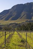 Vineyards at the foot of the Hermanus mountains