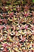 Leaves Of Ornamental Tree In Gardens Arranged.