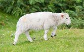 Little Cute Lamb Walking