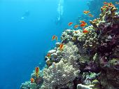 coral reef with divers and exotic fishes anthias at the bottom of tropical sea on blue water backgro