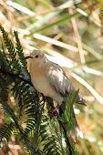 Ringneck Dove (Streptopelia roseogrisea)