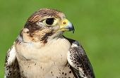 Profile Of Peregrine Falcon With Yellow Beak