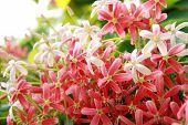 Pink Drunen Sailor Or Rangoon Creeper Flower.