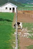 stock photo of dairy barn  - Holstein calf eating grass through a fence on a dairy farm in Star Valley Wyoming - JPG