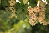 White wine grapes on vine