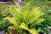 stock photo of spores  - Green leaves of fern in the forest - JPG