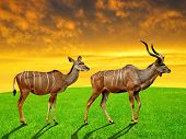 greater kudu in the sunset
