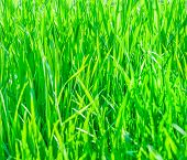 Texture Of Fresh Green Grass
