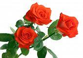 beautiful roses, isolated on white
