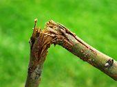 Detail of broken branch for storm destruction