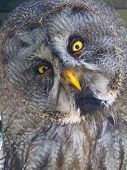 Great Gray Owl (strix Nebulosa)