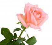 beautiful rose, isolated on white