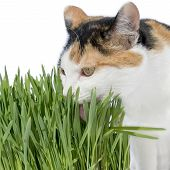 Female cat licking grass, isolated
