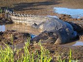 Estuarine saltwater Crocodile, Crocodylus porosus, Australia