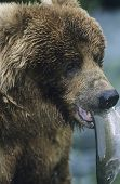 Grizzly bear with fish in mouth close-up