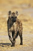 Spotted Hyena (Crocuta Cocuta) standing on savannah
