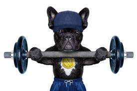 picture of gold medal  - dog as personal trainer with gold medal lifting a dumbbell bar wearing a blue cap - JPG