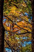 Fiery Fall Foliage of Bald Cypress Trees on the Crystal Clear Frio River
