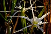 Spider Lilies (Hymenocallis liriosme) Growing Wild in Texas