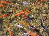 pic of fish pond  - Carp Koi - JPG