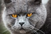 Beautiful British Shorthair Cat