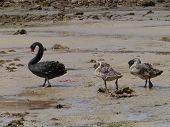 image of black swan  - Black swan family on Kangaroo island in Australia - JPG