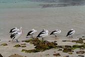 Australian pelicans on the beach
