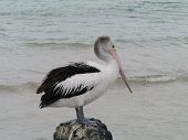 An Australian Pelican on a rock