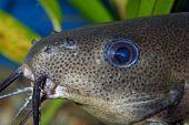 Catfish Head