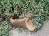 image of sea lion  - Australian sea lion  - JPG