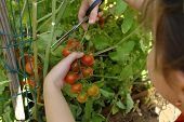 Picking mature organically grown cherry tomatoes