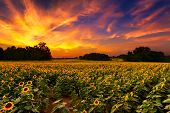 foto of kansas  - A sunflowerfield in Kansas with a beautiful sunset - JPG