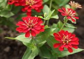 Red Zinnia Flower