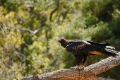 wedge-tailed eagle at Currumbin Wildlife Park