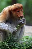 picture of monkeys  - Proboscis Monkeys Nasalis larvatus or long - JPG