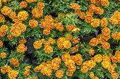 African Marigold Flower Background.