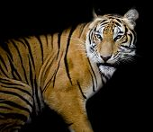 foto of sundarbans  - Closeup Tiger animal wildlife black color background - JPG