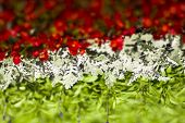 Hungarian flag from flowers