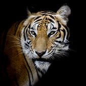 picture of sundarbans  - Closeup face Tiger  animal wildlife black color background - JPG