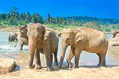 Elephants At Pinnawala Elephant Orphanage, Sri Lanka