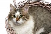 Beautiful Fluffy Kitten Lying In A Basket On A White Background