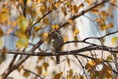 Sparrow On Autumn Tree