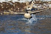 Canada Goose Taking Off From A Winter River